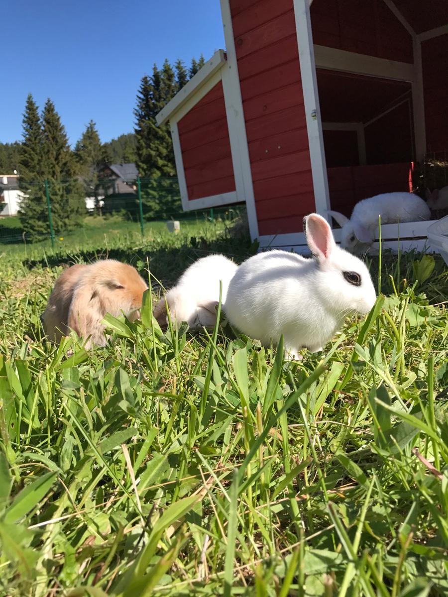 zajačiky v Donovalkove